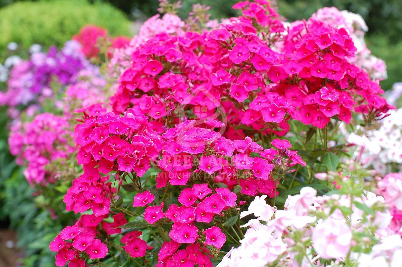 Флокс низкорослый фото цветок