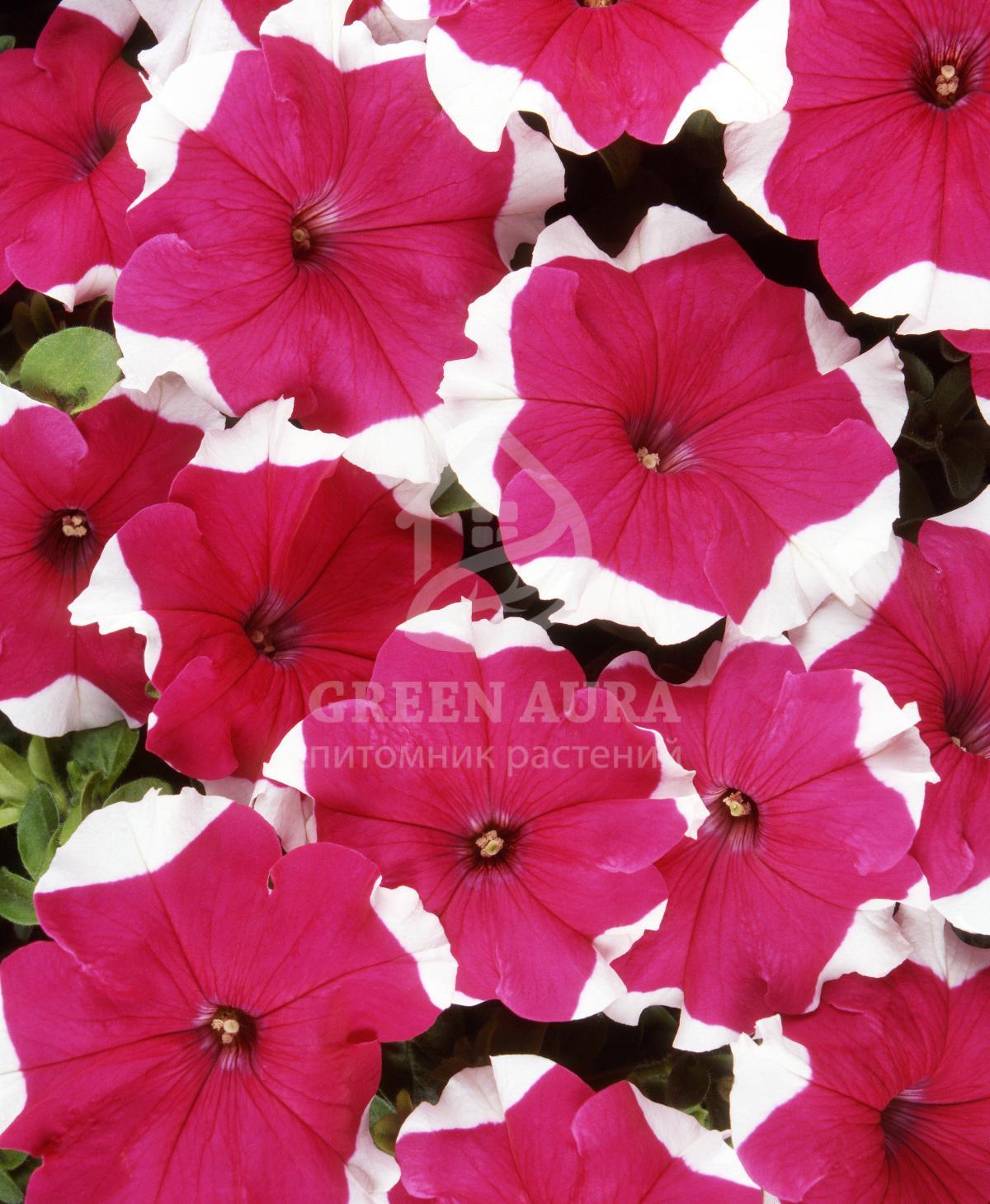 Петуния крупноцветковая фото цветов