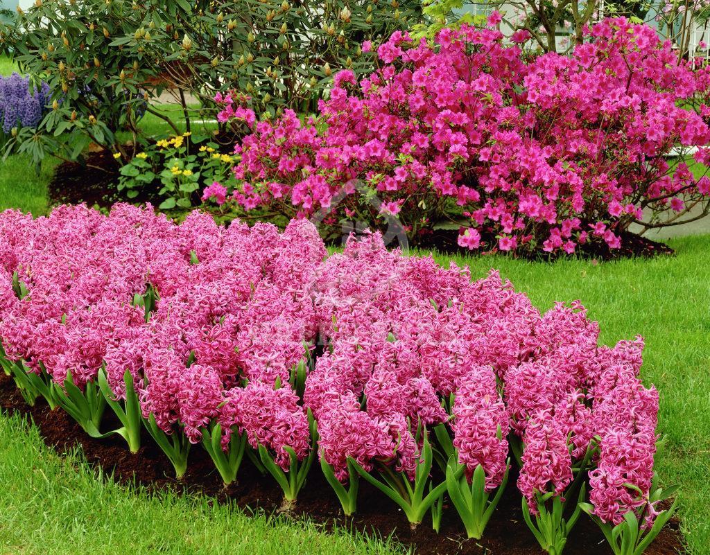 Гиацинт как сажать весной