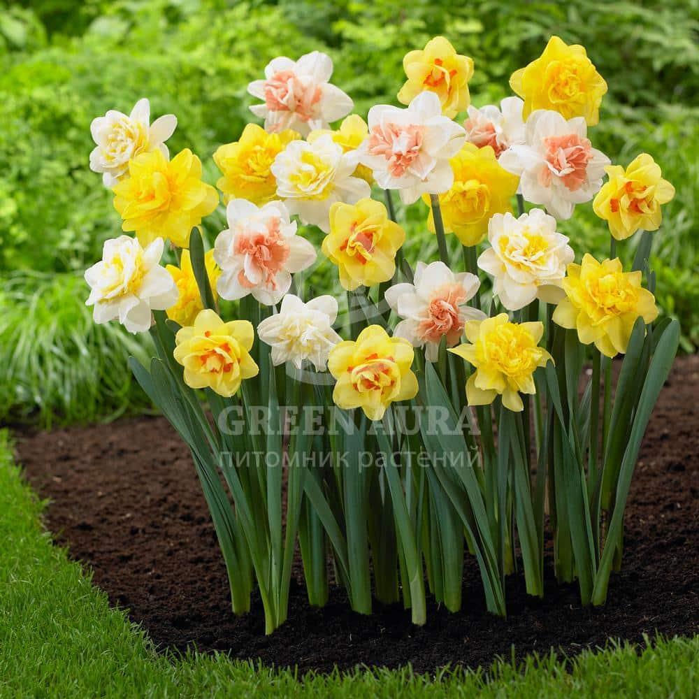 Фото луковичных цветов и цена